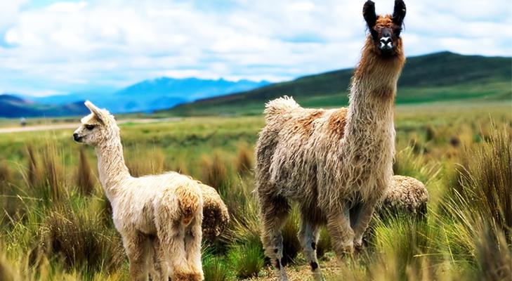 Llama – The unusual pet @TheRoyaleIndia