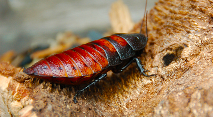 Madagascar Hissing Cockroach an unusual popular choice for a pet @TheRoyaleIndia