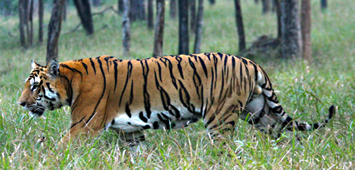 Pench Tiger Reserve, Madhya Pradesh @TheRoyaleIndia