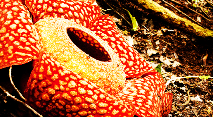 Rafflesia Arnoldii – Unusual Plants @TheRoyaleIndia