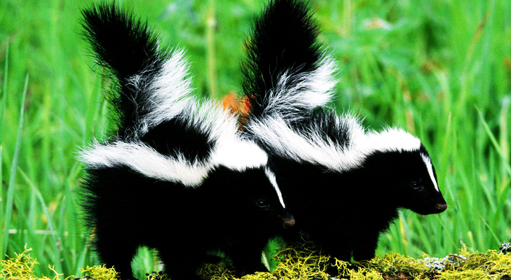 Skunk is the newcomer in the unusual pet dominion @TheRoyaleIndia