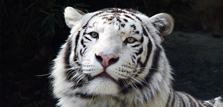 Sight White Tiger at Bandhavgarh National Park, Madhya Pradesh @TheRoyaleIndia