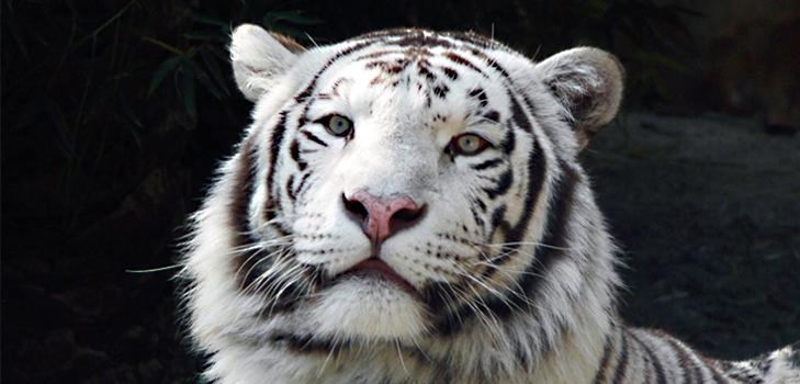 Sight White Tiger at Bandhavgarh National Park, Madhya Pradesh @TheRoyaleIndia