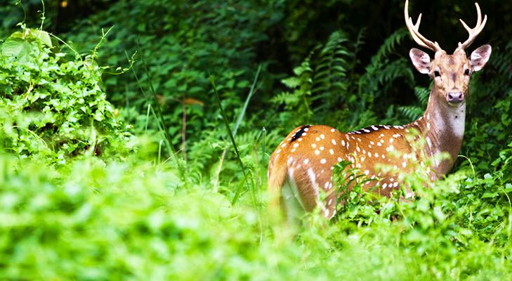 Nagzira Spotted Deer @TheRoyaleIndia