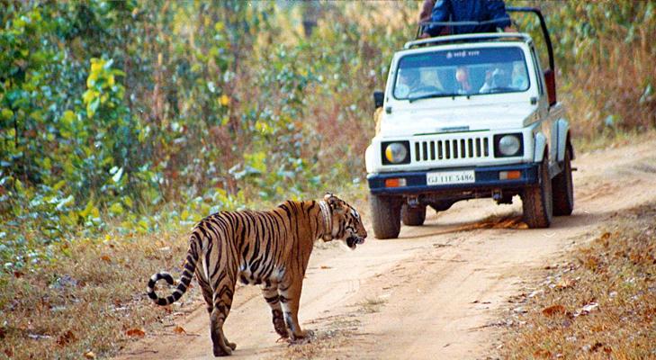 Tiger at manas national park @TheRoyaleIndia
