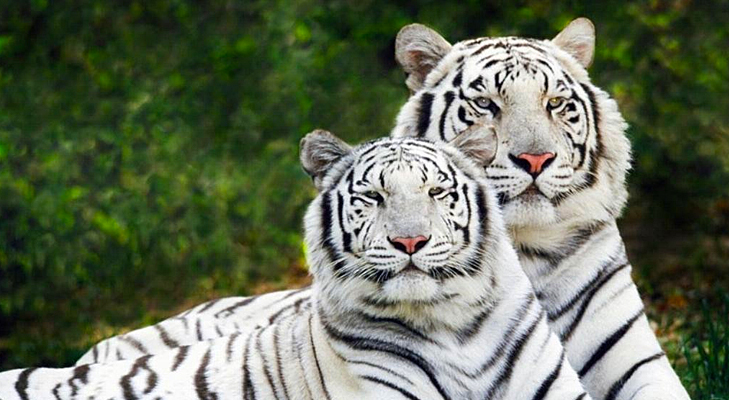 white tigers in bandavgarh @TheRoyaleIndia