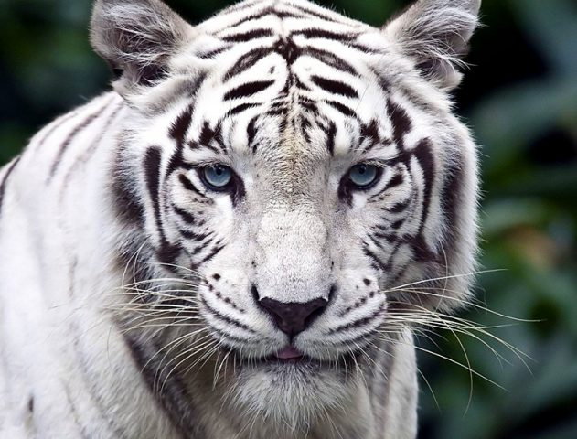 sanctuaries where you can spot white tigers in india - ferociously