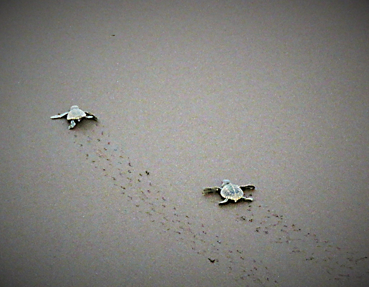 hatchlings making their way to the sea @TheRoyaleIndia