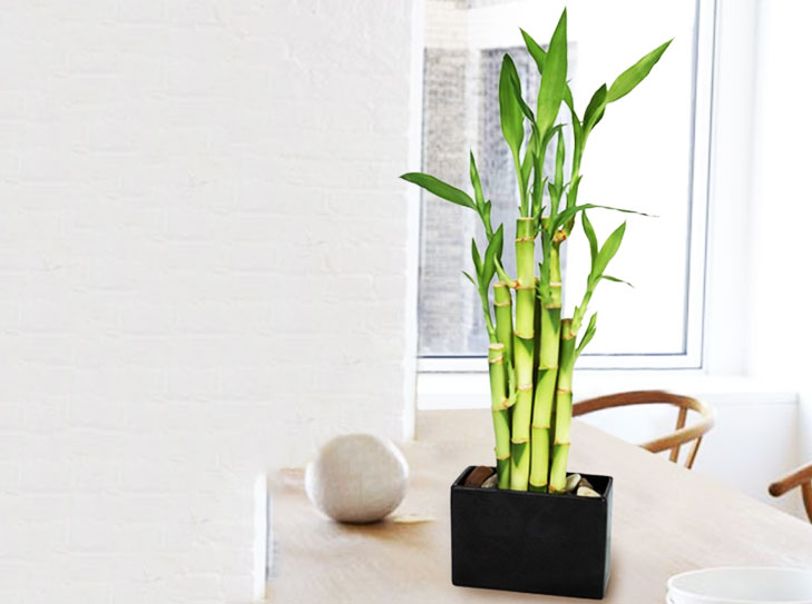 bamboo plants for home @TheRoyaleIndia