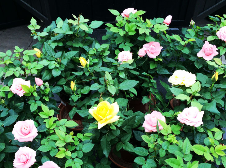 rose plants for home @TheRoyaleIndia