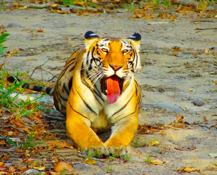 tiger at bhimbandh wildlife sanctuary @TheRoyaleIndia