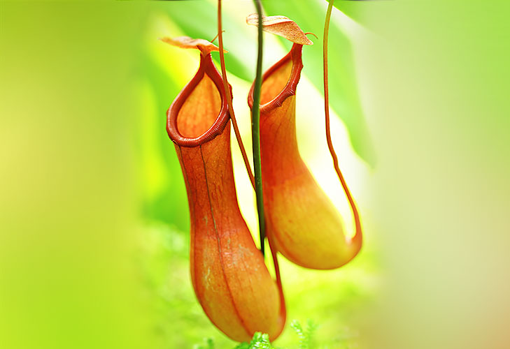 pitcher plants @TheRoyaleIndia