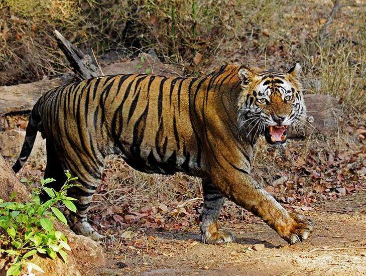 Sariska Tiger Reserve @TheRoyaleIndia
