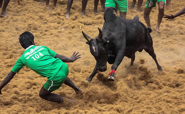 jallikattu bull fighting @TheRoyaleIndia